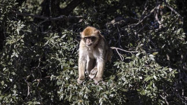 الصين تعلن أول وفاة بالفيروس القردي B